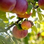 <b>Les pommes en décapotable </b>