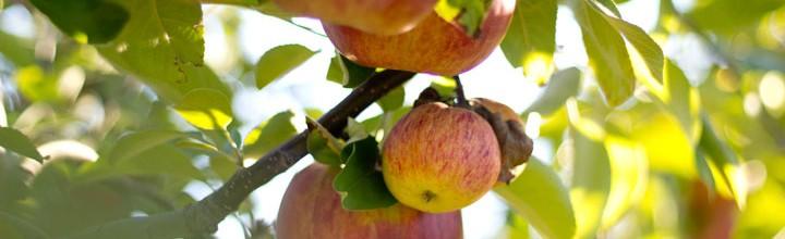 Les pommes en décapotable